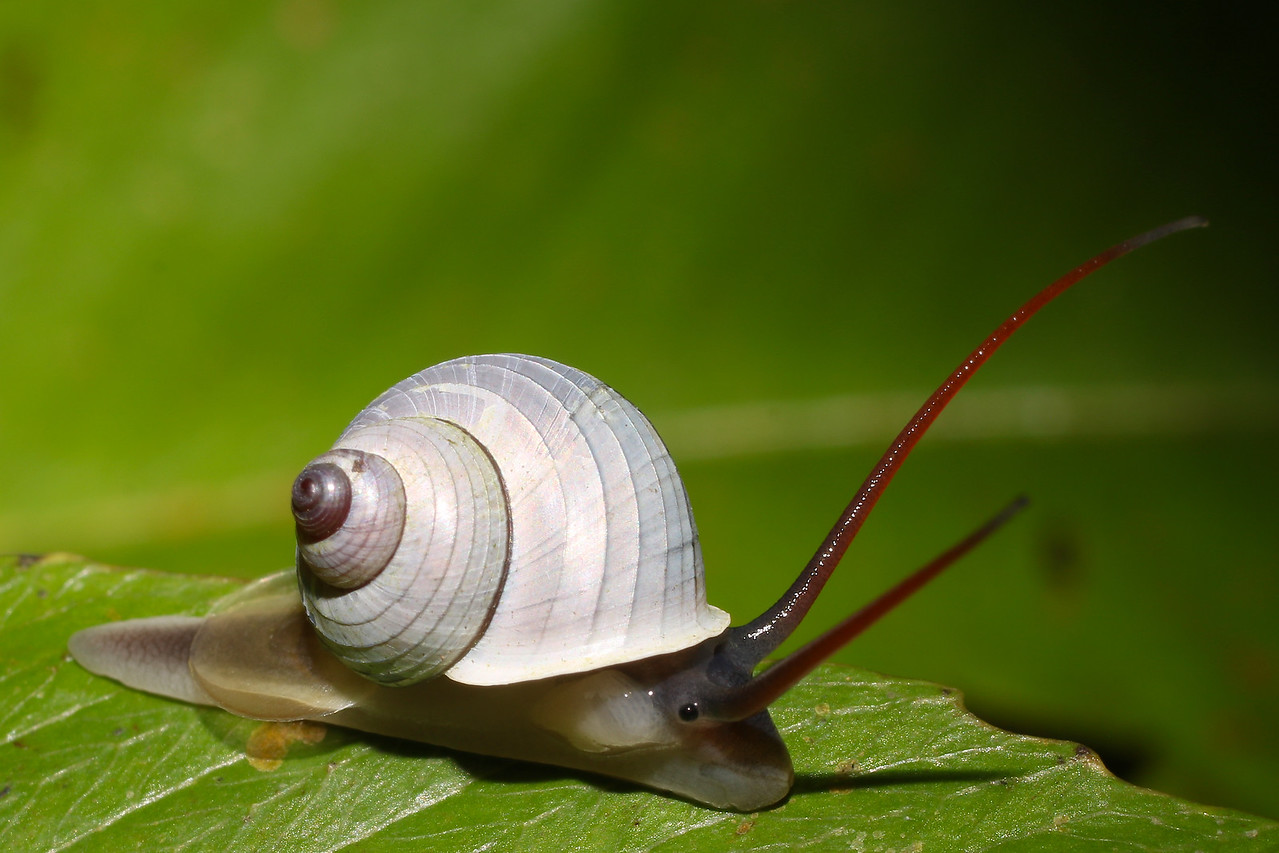 Leptopoma sericatum