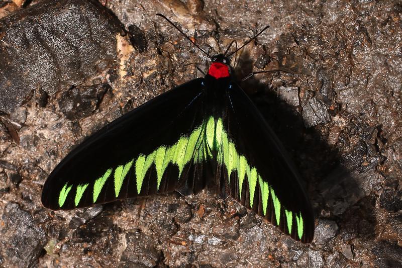 Trogonoptera brookiana