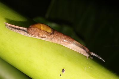 Parmarion martensi