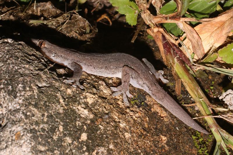 Hemidactylus platyurus