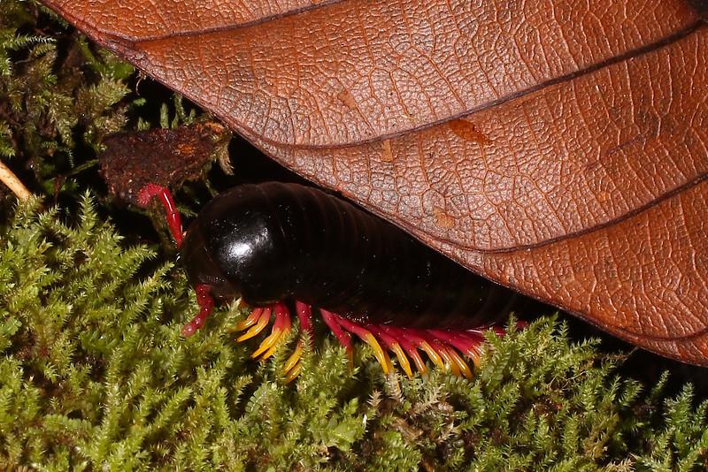 Trigoniulus macropygus