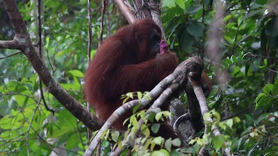 Pongo pygmaeus, Bornean orangutan - Full HD Video