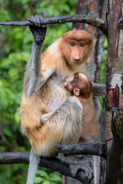 Labuk Bay Proboscis Monkey Sanctuary, Sandakan, Sabah, Malaysia. A mother and her nursing infant.