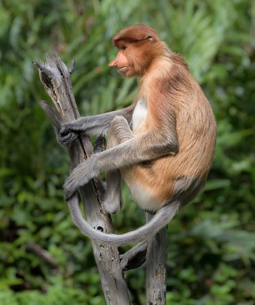 Labuk Bay Proboscis Monkey Sanctuary, Sandakan, Sabah, Malaysia. A female proboscis monkey displays her long tail.