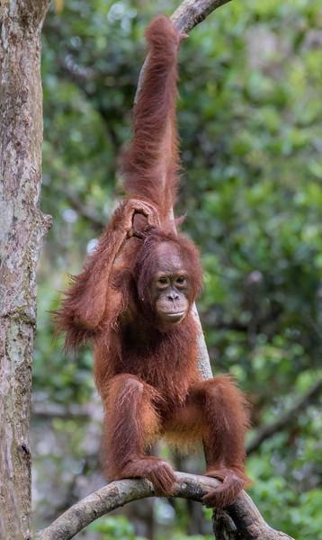 Tanjung Puting National Park, Central Kalimantan, Indonesia.  A juvenile orangutan asurveys the Camp Leakey feeding platform.