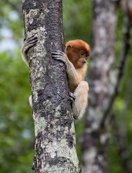 Labuk Bay Proboscis Monkey Sanctuary, Sandakan, Sabah, Malaysia. This juvenile is past the infant coloration stage.