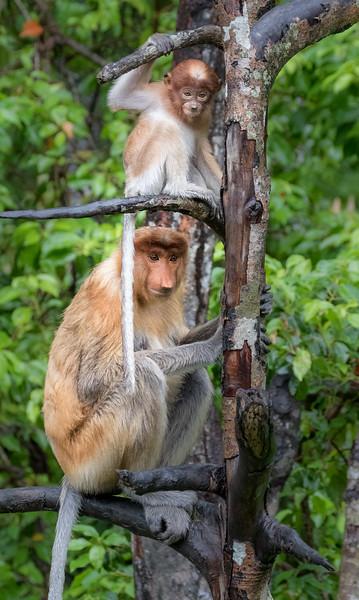 Labuk Bay Proboscis Monkey Sanctuary, Sandakan, Sabah, Malaysia. A mother and  her infant.