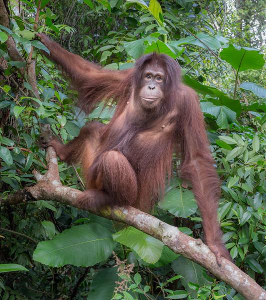 Orangutan Care Center and Quarantine facility, Pasir Panjang, Central Kalimantan, Indonesia. An adolescent male orangutan focuses on visitors.
