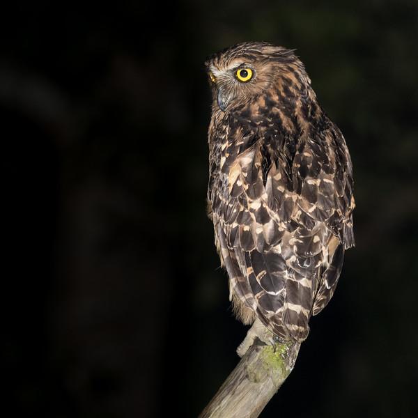 Lower Kinabatangan River, near Sukau, Sabah, Malaysia. A buffy fish owl, alert for night-time prey.