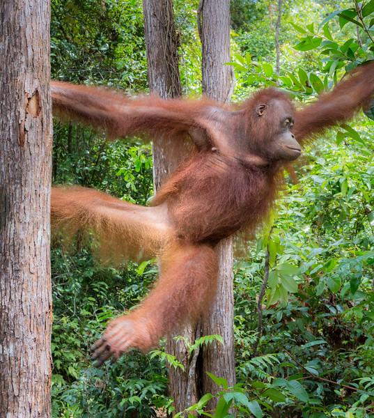 Orangutan Care Center and Quarantine facility, Pasir Panjang, Central Kalimantan, Indonesia. An adolescent orangutan moves between trees.