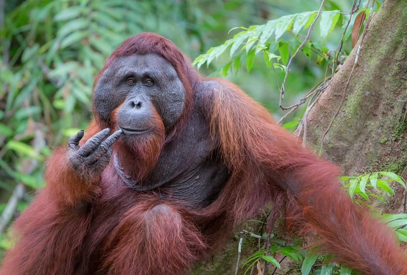 Tanjung Puting National Park, Central Kalimantan, Indonesia.  Kacong, a male orangutan, near the Tanjung Harapan feeding station.