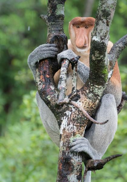 Labuk Bay Proboscis Monkey Sanctuary, Sandakan, Sabah, Malaysia. Alpha male Kozi monitors his harem and watches for threats.