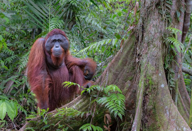 Tanjung Puting National Park, Central Kalimantan, Indonesia.   Male orangutan Kacong, near the Tanjung Harapan feeding station.