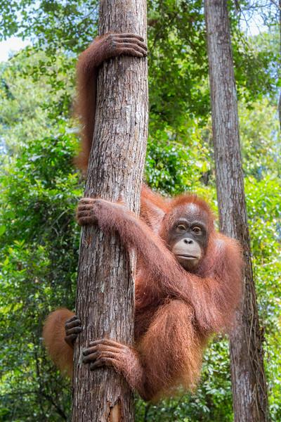 Orangutan Care Center and Quarantine facility, Pasir Panjang, Central Kalimantan, Indonesia. An adolescent orangutan perches in a tree.