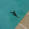 "One of the more frightening of creatures we found in and around our pool -- an 8"" scorpion!"
