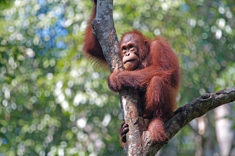 Orang Utans, Semmongoh, Sarawak, Borneo