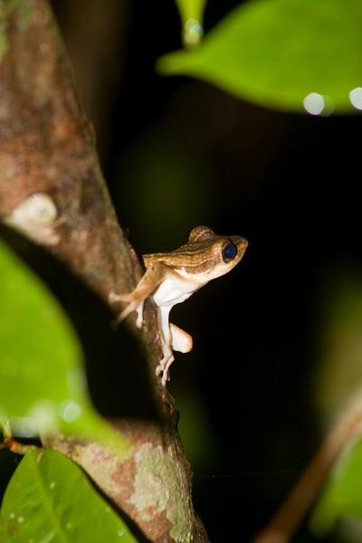 Polypedates macrotis Bako National Park