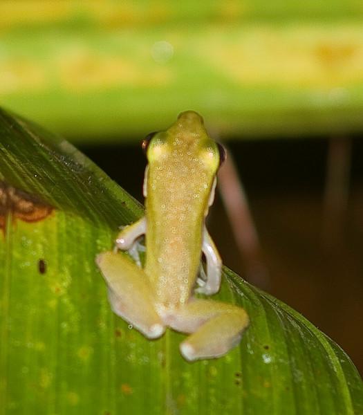 Hydrophylax raniceps Bako National Park