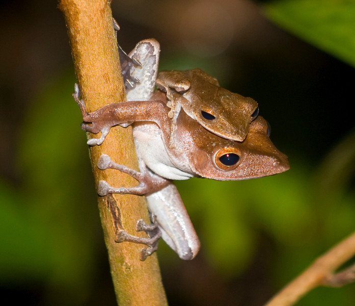 polypedates colleti Bako National Park