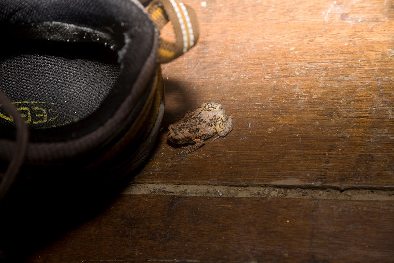 Kaloula baleata   This toad ended up in my shoe, which wa than was packed in my bag and survived the journey for two hours to the next lodge where it was let go.  ---  lower Kinabatangan River, eastern Sabah,