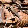 Bako National Park asain sun skink(Eutropis multfasciata)