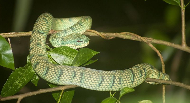 Wagler's pit viper (Tropidolaemus wagleri) Bako National Park