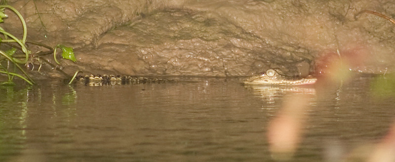 estuarine crocodile (Crocodylus porosus)  lower Kinabatangan River, eastern Sabah,