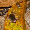 Kalophrynus heterochirus Bako National Park