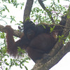 Orangutan (Pongo pygmaeus) - in the wild Borneo