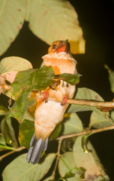 Brown-winged Kingfisher (Pelargopsis amauroptera) Borneo