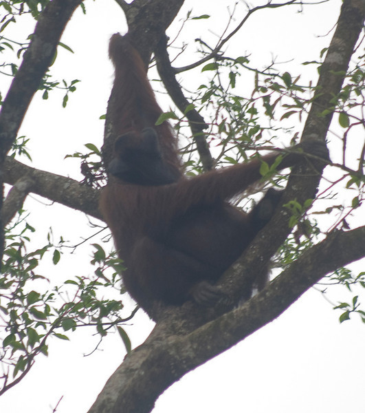 Orangutan (Pongo pygmaeus) - in the wild Borneo