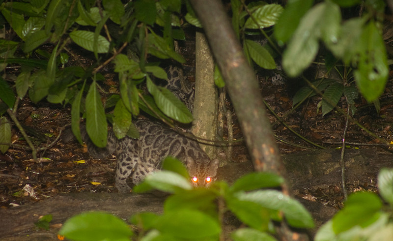 Bornean Clouded Leopard (Neofelis diardi). Photo taken at the lower Kinabatangan River, eastern Sabah, Malaysia. I did a night cruise and there were three boats in our tour cruising the river looking for wildlife. One boat, that was about ten minutes away, informed our boat that they found something. When we arrived we saw this cat with two cubs along the river. The boat that first arrived saw the leopards going after a few proboscis monkeys. I missed the drama, and was only able to get four pictures before they left. Borneo