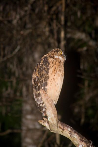 Buffy Fish-owl (Ketupa ketupu) Borneo
