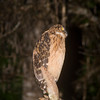 Buffy Fish-owl (Ketupa ketupu) Borneo