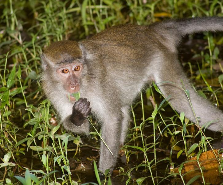 Long-tailed macaque<br /> Macaca fascicularis Bako National Park Borneo