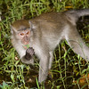 Long-tailed macaque<br /> Macaca fascicularis Bako National Park Borneo