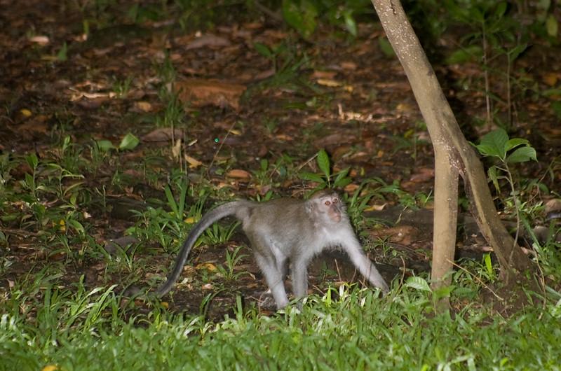 Long-tailed macaque<br /> (Macaca fascicularis) Bako National Park Borneo