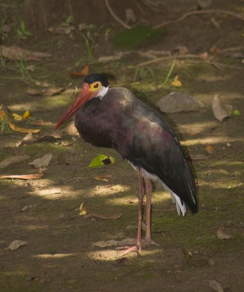 Storm's Stork, Ciconia stormi Borneo