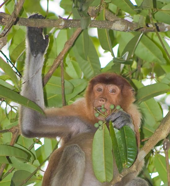 Proboscis Monkey (Nasalis larvatus) Bako National Park Borneo