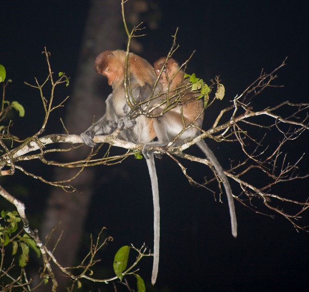 this was the tree above the Clouded leopard - the monkeys could have been their dinner - Borneo