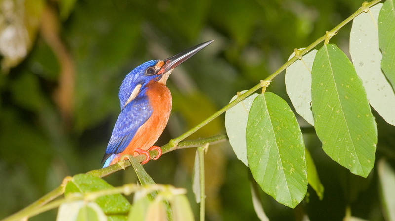 Blue-eared Kingfisher (Alcedo meninting) Borneo