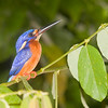 Blue-eared Kingfisher (Alcedo meninting) Borneo