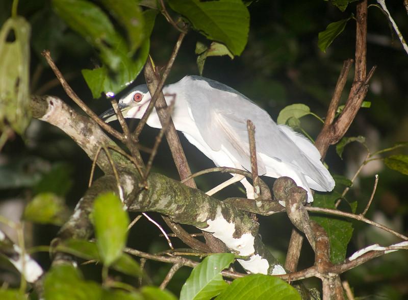 Black-crowned Night Heron (Nycticorax nycticorax) Borneo