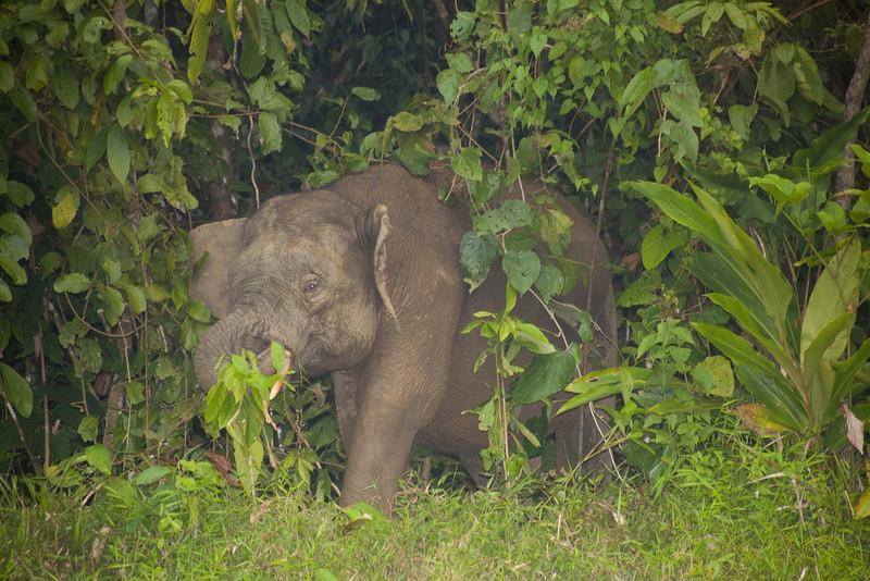Borneo Pygmy Elephant, (Elephas maximus borneensis) Borneo