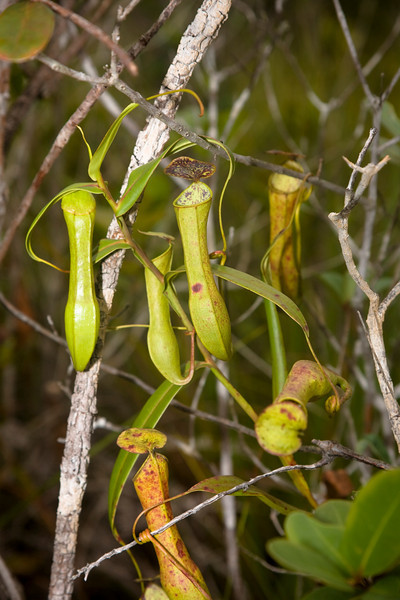Pitcher plant -  Nepenthes Bako National Park