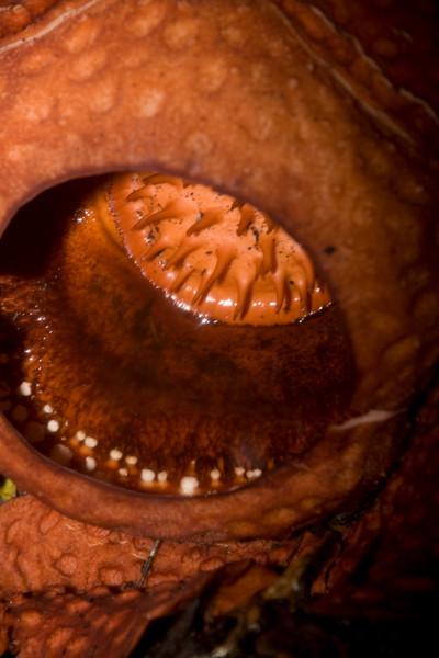 Rafflesia tuan-mudae Gunung Gading National Park