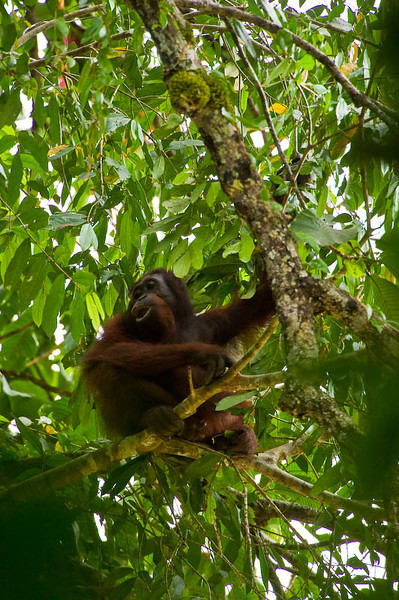 Orangutan - Danum Valley National Park, Malaysian Borneo