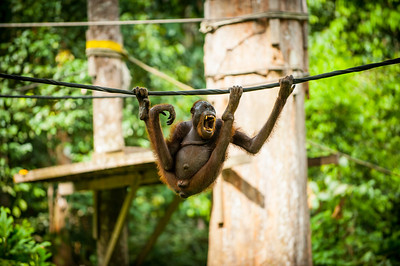 An adult male Orangutan hangs on a rope, Sepilok, Borneo