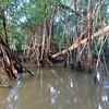 Kinabatangan River Mangroves