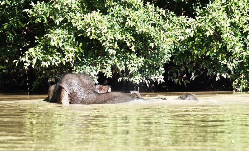 Pygmy Borneo elephants